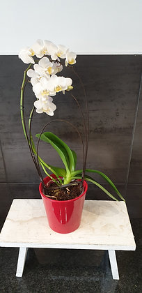 Phalaenopsis Blanche (2 tiges)