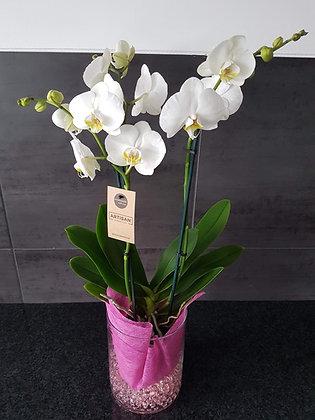 Orchidée papillon 3 tiges (blanc)