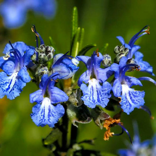 ESSENCIA. NEW ALECRIM BLUE - 430016
