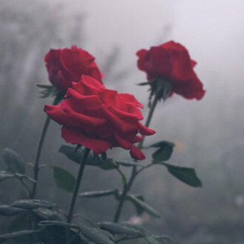 ESSÊNCIA SILVER ROSES LOCC - 380168