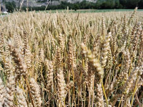 12.07.2021: Getreide auf dem Weltacker Balzers