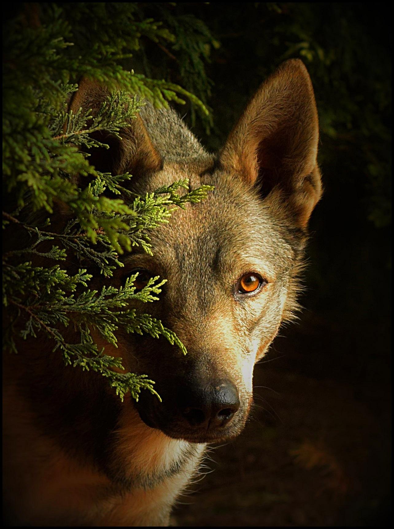 wolfdog head shot