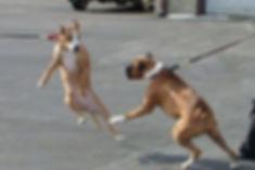 lunging dog