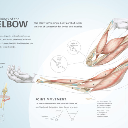 The Workings of the Elbow