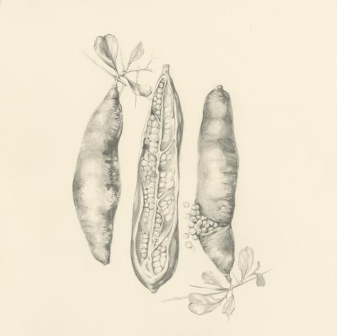 Botanical Illustration Finger Lime