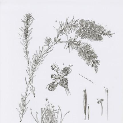 Botanical Illustration Bottlebrush