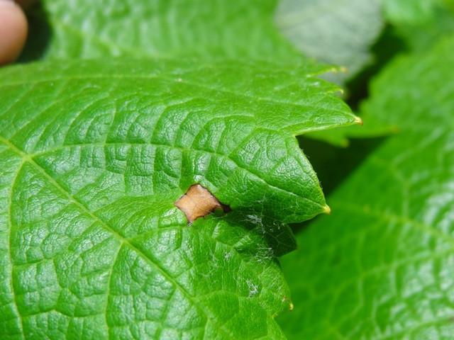 Mancha primária do Black rot em folhas