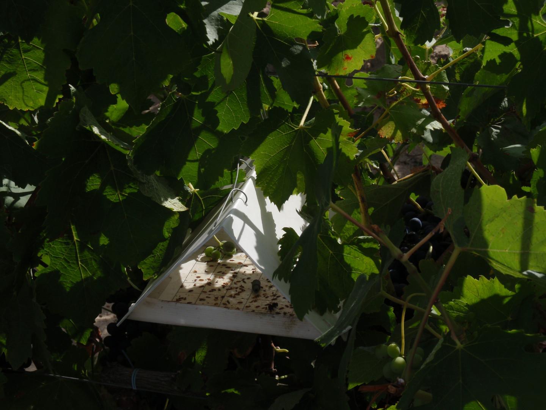 Armadilha delta com capturas de adultos machos de traça-da-uva