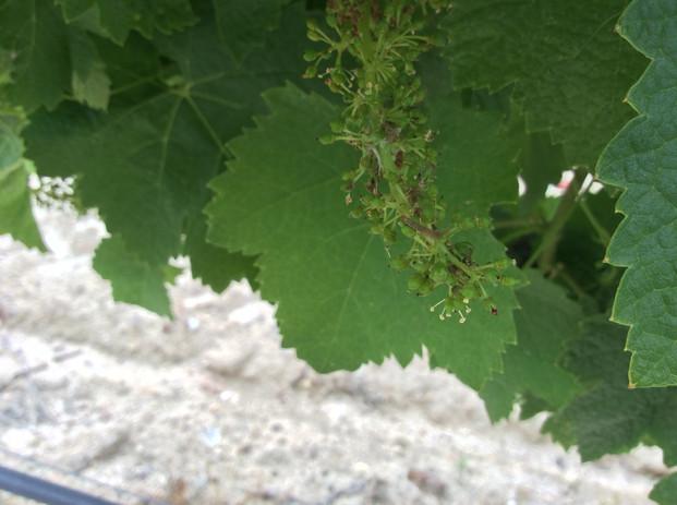 Ninho da traça-da-uva