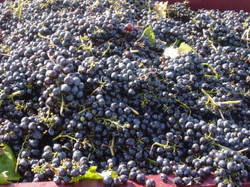 Apoios à Vinicultura