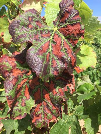 Sintomas de esca nas folhas