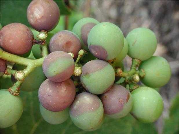Sintomas precoces nos frutos