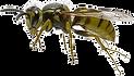 transparent-honey-bee-hornet-net-winged-