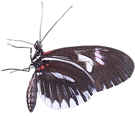 transparent-moths-and-butterflies-insect