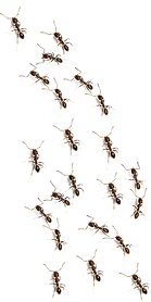 the-ants-insect-ants-png-af49eb17e57fe82
