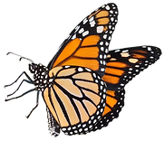 butterfly-weed-insect-how-to-raise-monar