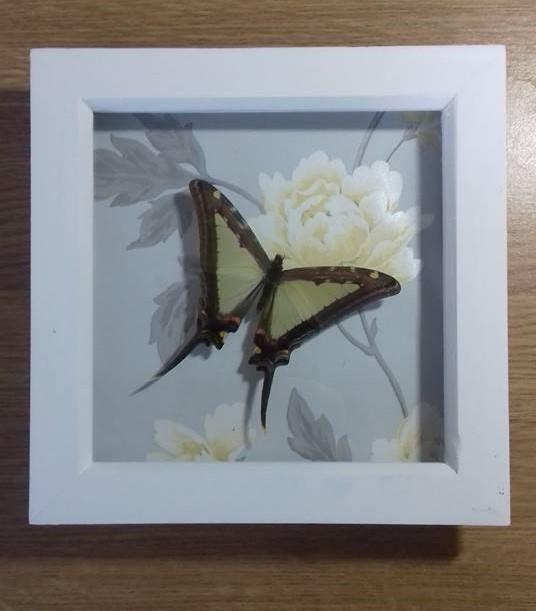 Graphium leucaspis