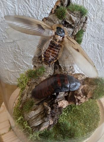Gromphadorhina portentosa & Blaberus craniifer
