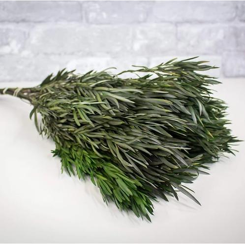 Salignum Male - Green