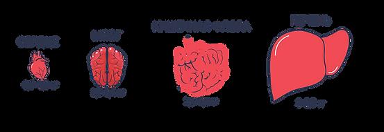 Органы человека и их вес.png