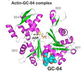 actin-gc04.jpg