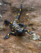 fire-salamander-746104_1920.jpg