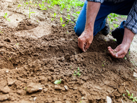 Sowing perennials from seed