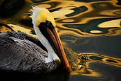 Ecology_USFishWldlf_Brown-pelican_Andrea