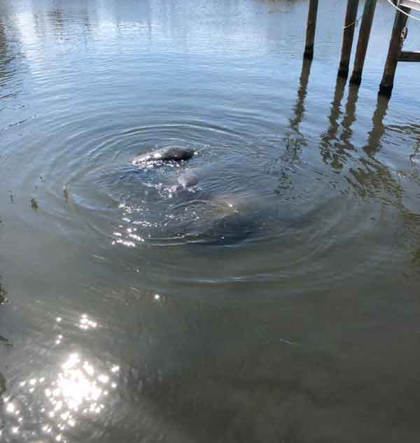 Manatees at River Run, Photography