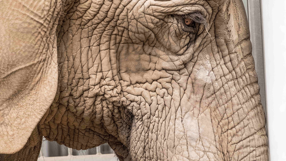 dehydrated skin elephant