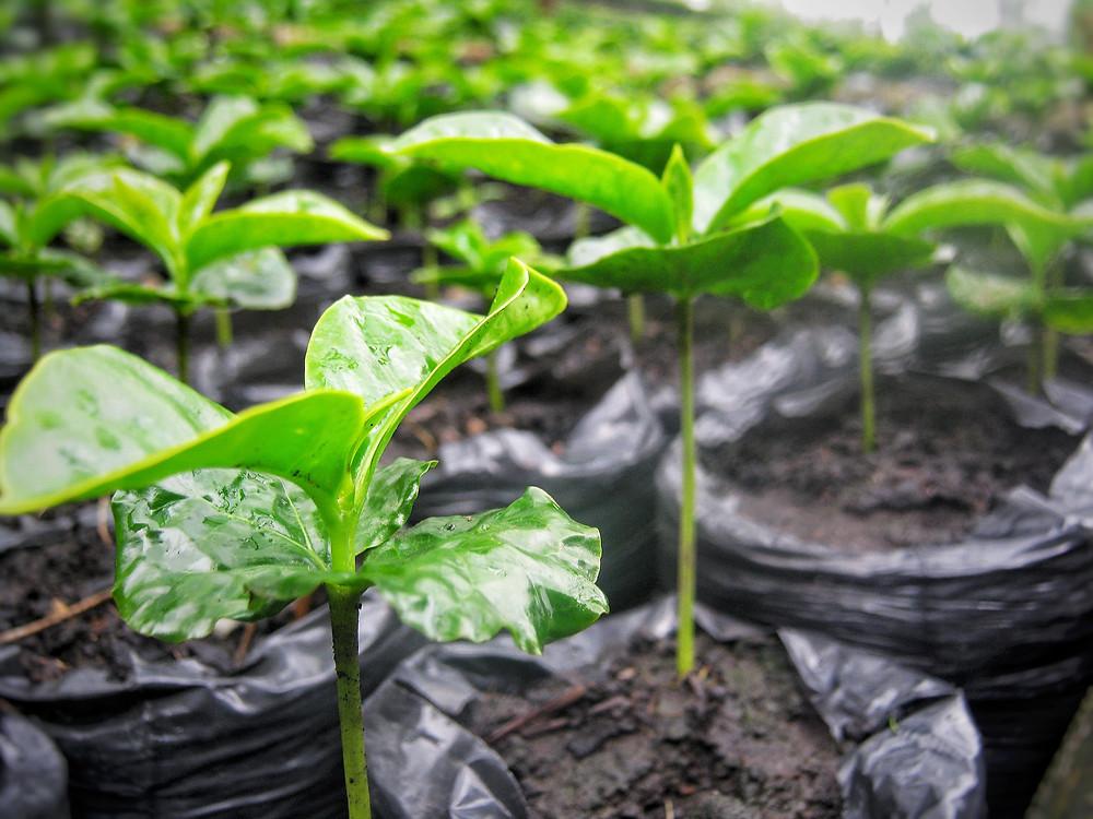 Organic Baby Coffee Plants. Photo by: Kaffe Bueno