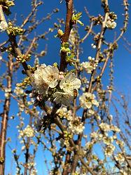 First Cherry Bloom. (2).jpg