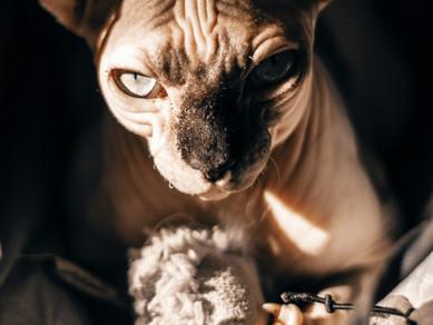 Kedilerde Saldırganlık
