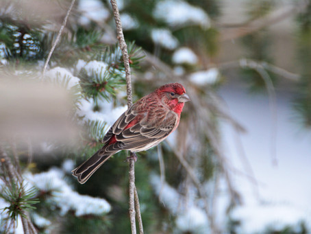 Inspire:  Songbird Joy!