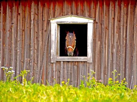 Mesurer les allures et l'activité des chevaux par accélérométrie, c'est possible!
