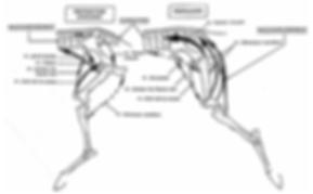 Biomécanique membres postérieurs cheval