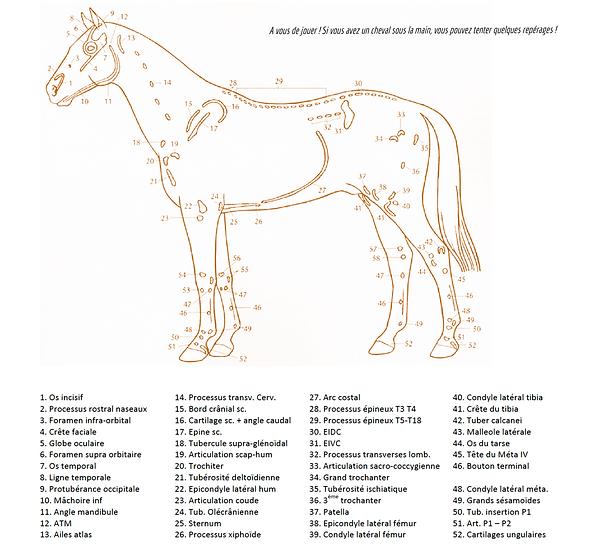 repères osseux cheval