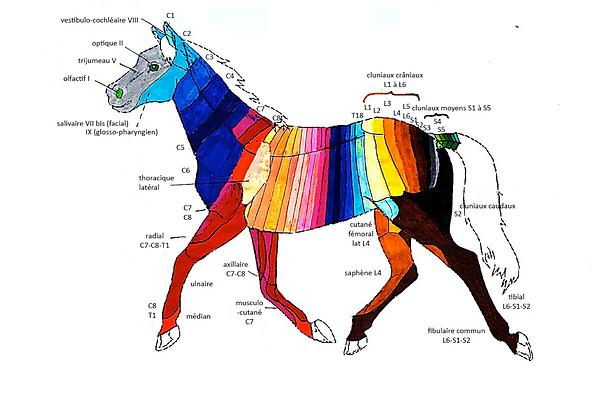 Dermatome du cheval