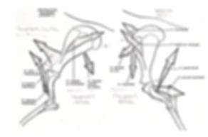 biomécanique membres antérieurs cheval