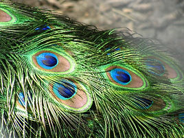 Exotic peacock feather