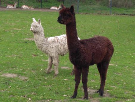 Verzin een naam voor onze Alpaca's!