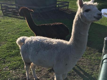 NLDoet Breerpark deels in teken van Alpaca's