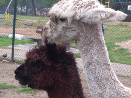 Herinnering naamgeving Alpaca's