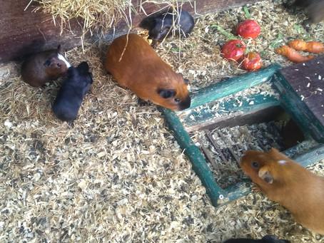 Caviamoeder met 5 jongen heeft intrek genomen in het Breerpark