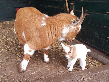 Eerste geitje meld zich in Breerpark
