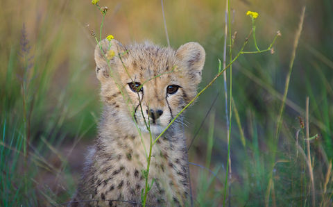 cheetah-in-the-wild-africa-CSBB4NB.jpg