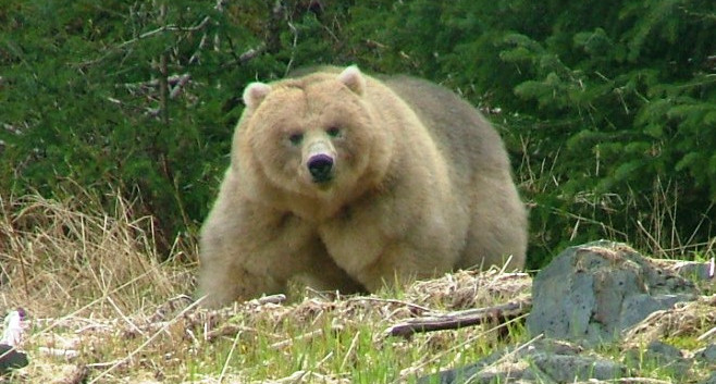 Grizzly at Slate Creek Cove