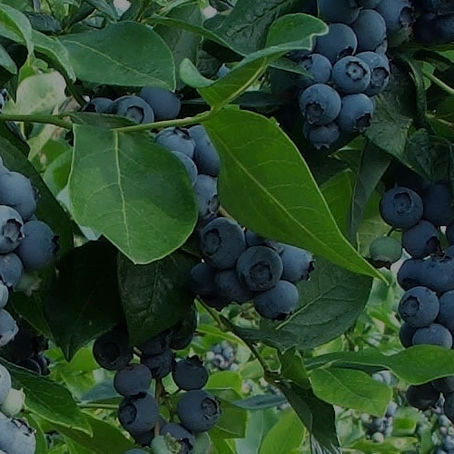Lessons From A Blueberry Patch (Trellis and the Vine Chapter 4)