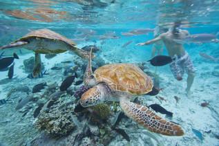 Wasserschildkröten beim Schnorcheln auf Tahiti
