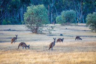 Känguruhs bei Margaret River